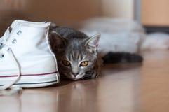 Caccia britannica del gatto di Shorthair nell'alloggiamento Fotografia Stock Libera da Diritti