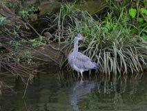 Caccia cinerea ardea/di Grey Heron per il pesce in fiume fotografia stock libera da diritti