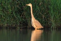 Caccia cinerea di Grey Heron Ardea Immagini Stock Libere da Diritti