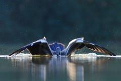 Caccia cinerea di Grey Heron Ardea un pesce Immagini Stock Libere da Diritti