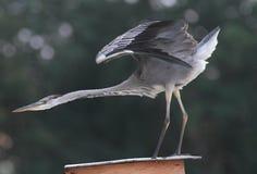 Caccia cinerea di Grey Heron Ardea un pesce Fotografia Stock