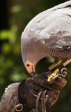 Caccia col falcone 01 Fotografia Stock Libera da Diritti