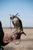 Caccia col falcone Immagine Stock