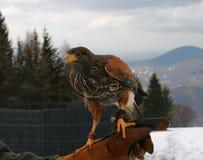 Caccia col falcone Fotografia Stock Libera da Diritti