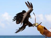 Caccia col falcone di Eagle, addestramento di caccia del rapace nel Messico fotografia stock libera da diritti