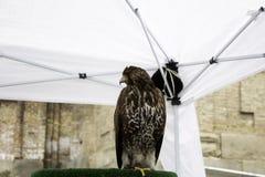 Caccia col falcone reale di Eagle fotografie stock libere da diritti