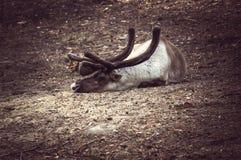 Caccia dei cervi in una foresta selvaggia Fotografia Stock Libera da Diritti