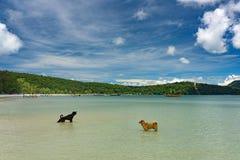 Caccia del cane dell'isola per il pesce in acqua pulita del turchese immagine stock