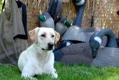 Caccia del cane giallo del Labrador Immagini Stock Libere da Diritti
