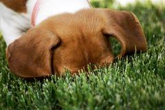 Caccia del cane per gli insetti Fotografia Stock