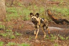 Caccia del cane selvaggio Fotografia Stock Libera da Diritti
