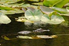 Caccia del coccodrillo nei terreni paludosi, Florida Fotografia Stock