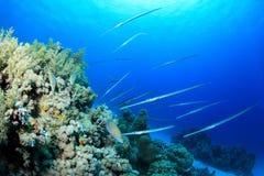 Caccia del Cornetfish Fotografie Stock Libere da Diritti