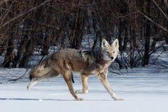 Caccia del coyote nella neve Fotografia Stock Libera da Diritti