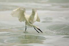 Caccia del Egret Immagine Stock