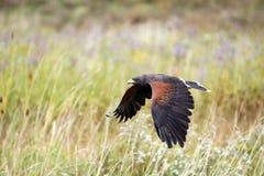 caccia del falco Immagine Stock