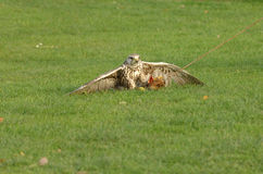 Caccia del falco Immagini Stock