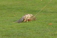 Caccia del falco Fotografia Stock Libera da Diritti