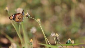 Caccia del fiore del nettare della mosca del burro stock footage