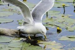 Caccia del gabbiano nel lago Immagini Stock