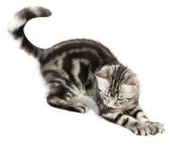 Caccia del gattino Fotografia Stock