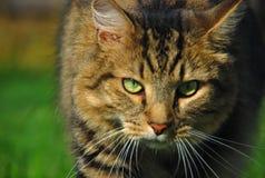 Caccia del gatto fotografie stock libere da diritti