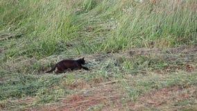 Caccia del gatto stock footage