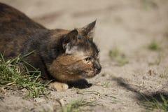 Caccia del gatto che si nasconde nell'erba all'aperto Immagini Stock