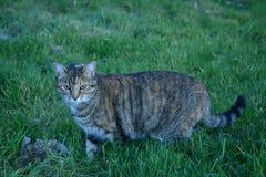 Caccia del gatto del granaio del soriano in un pascolo fertile Immagine Stock Libera da Diritti