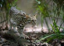 Caccia del gatto di leopardo Fotografie Stock Libere da Diritti