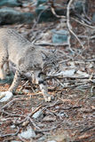 Caccia del gatto selvatico Immagini Stock Libere da Diritti