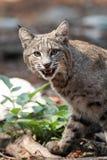 Caccia del gatto selvatico Immagini Stock