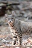 Caccia del gatto selvatico Immagine Stock
