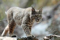Caccia del gatto selvatico Fotografie Stock Libere da Diritti