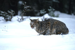 Caccia del gatto selvatico nella neve Fotografie Stock