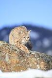 Caccia del gatto selvatico per l'alimento in montagne Fotografia Stock Libera da Diritti