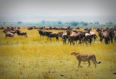 Caccia del ghepardo Immagini Stock Libere da Diritti