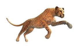 Caccia del ghepardo, animale su fondo bianco Immagini Stock