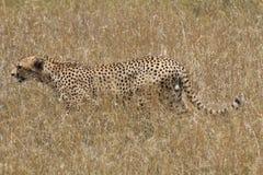 Caccia del ghepardo nella savana Immagini Stock
