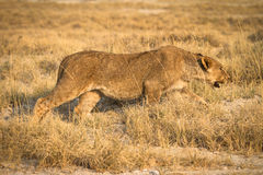 Caccia del leone Fotografia Stock