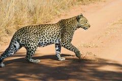 Caccia del leopardo Immagini Stock