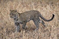 Caccia del leopardo nel pascolo fotografia stock libera da diritti