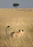 Caccia del Lioness Fotografie Stock Libere da Diritti