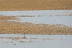 Caccia del piovanello per l'alimento su una spiaggia di sabbia dorata Immagini Stock Libere da Diritti