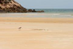 Caccia del piovanello per l'alimento su una spiaggia di sabbia dorata Immagini Stock