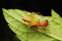 Caccia del ragno Fotografia Stock