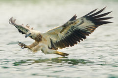 Caccia dell'aquila di mare Fotografia Stock