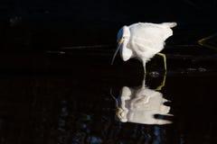 Caccia dell'egretta di Snowy Immagini Stock Libere da Diritti