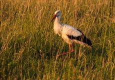 Caccia della cicogna nell'erba al tramonto immagine stock