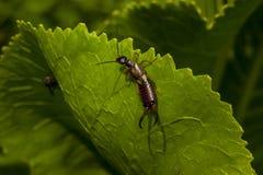 Caccia della dermaptera Fotografia Stock Libera da Diritti